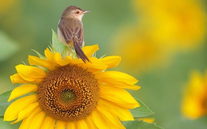 2714816_Animals___Birds_Bird_on_a_flower_sunflower_104142_ (700x437, 202Kb)
