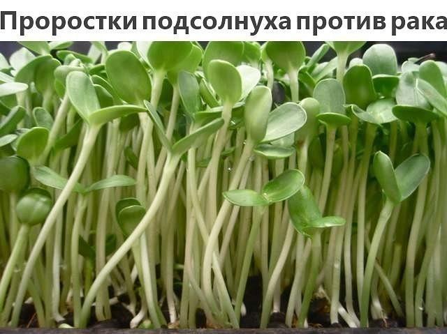 2749438_prorostki_podsolnyha_ot_raka (640x479, 63Kb)
