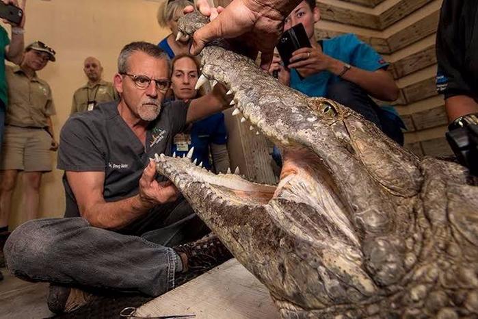 лечение крокодила 2 (700x466, 350Kb)