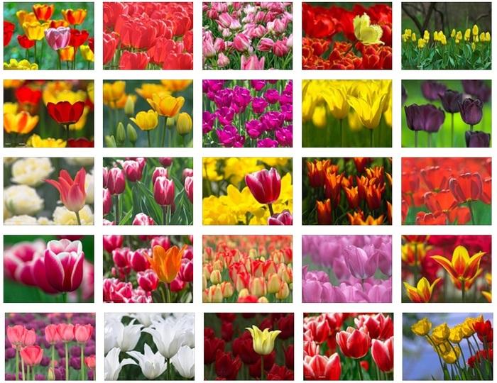 тюльпаны фото/4171694_Tulpani_foto (700x540, 171Kb)