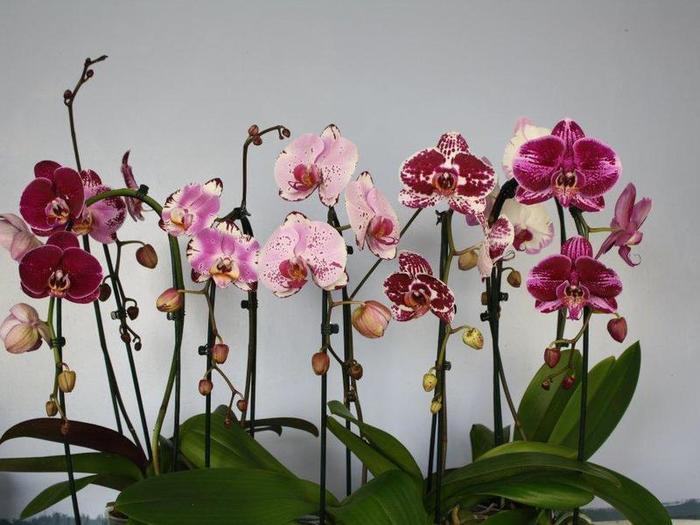 орхидея1 (700x525, 55Kb)