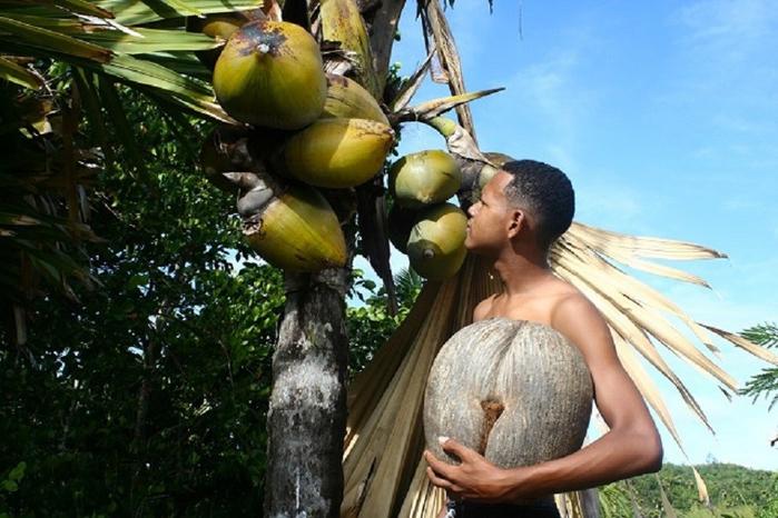 кокосы Коко-де-мер 1 (700x466, 367Kb)