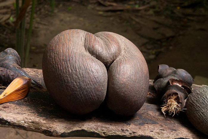 кокосы Коко-де-мер 3 (700x466, 313Kb)