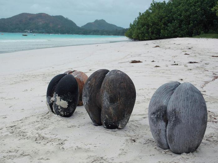 кокосы Коко-де-мер 6 (700x525, 328Kb)
