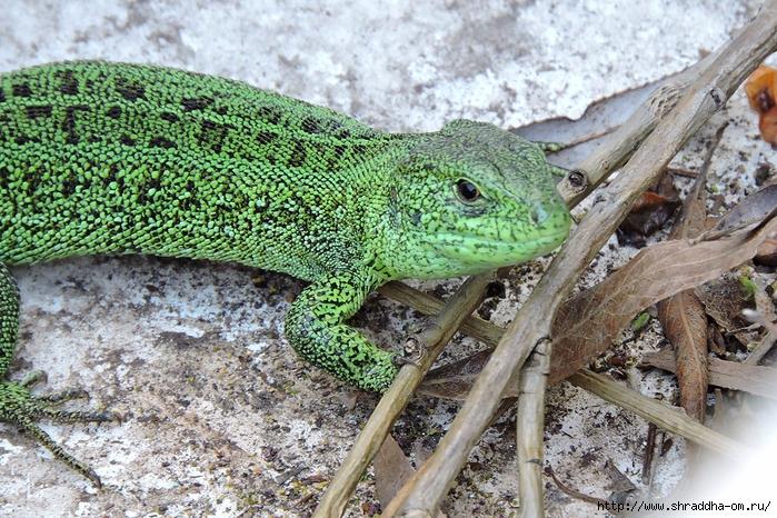 зелёный дракон (2) (700x466, 408Kb)