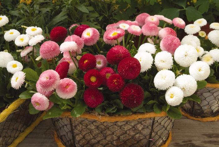 картинка-маргаритки-фото-цветов (700x468, 396Kb)