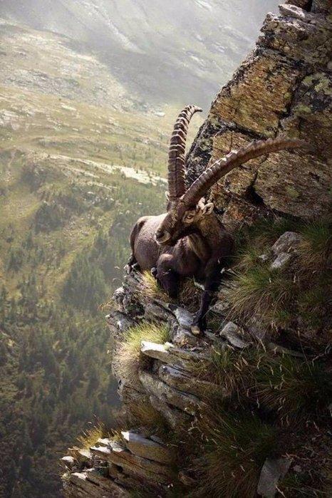 монг.горный козёл (466x700, 87Kb)