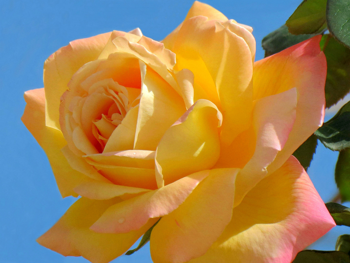 роза гло6 (700x525, 392Kb)