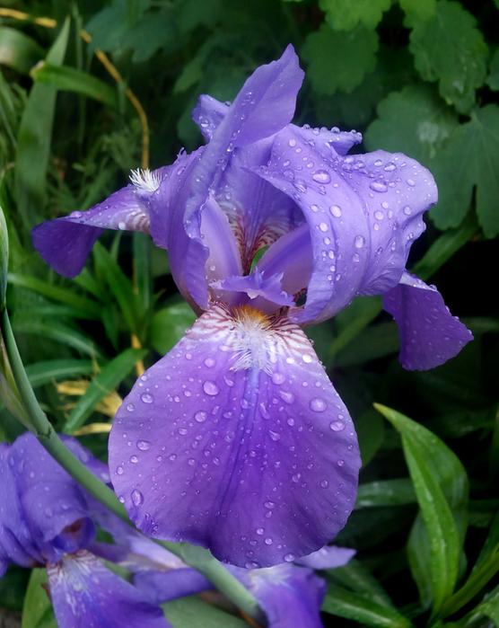 цветёт ирис