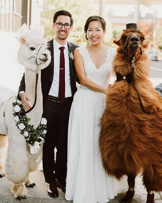 ламы на свадьбу 1 (560x700, 375Kb)