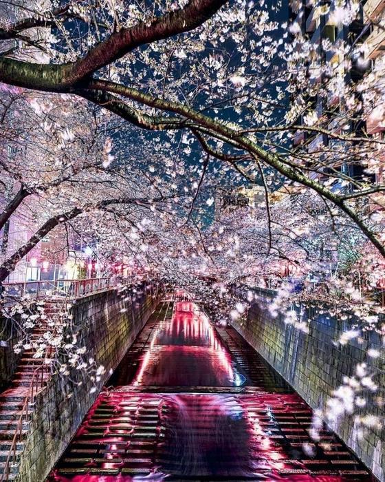 «Цветущая вишня над рекой Мэгуро»/3085196_14b633830b6c73a4630980456521 (560x700, 424Kb)