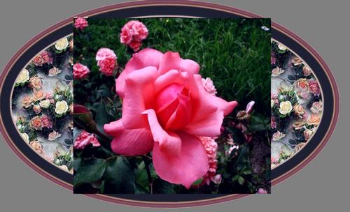 Открытка с розами22 (500x304, 346Kb)