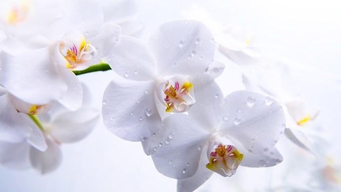 1868538_orhideya_1_ (700x393, 30Kb)
