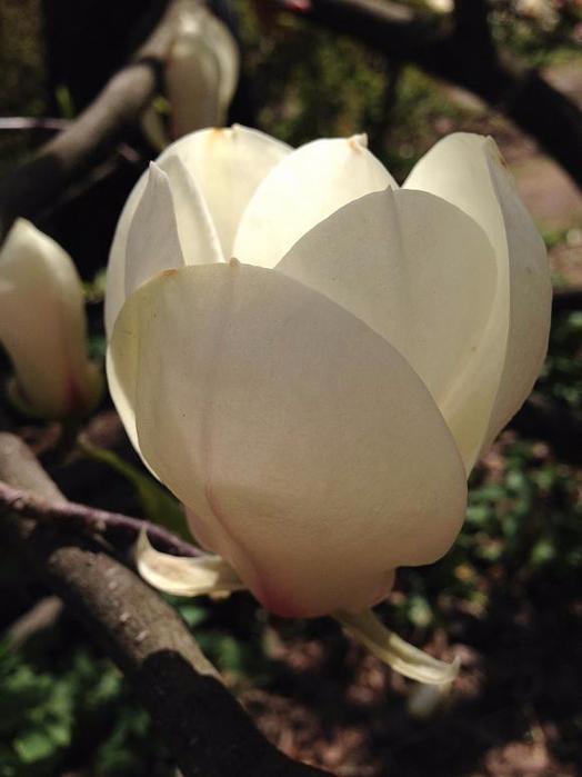 fonarik-beloj-magnolii (524x700, 260Kb)