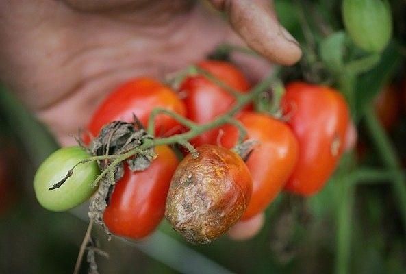 Соль, чеснок и кефир победят фитофторозу помидор/3509984_original (593x400, 30Kb)