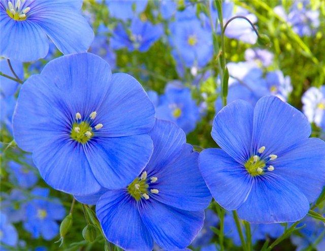 нежный лен - цветы лен www.smkfarm.ru (640x494, 64Kb)