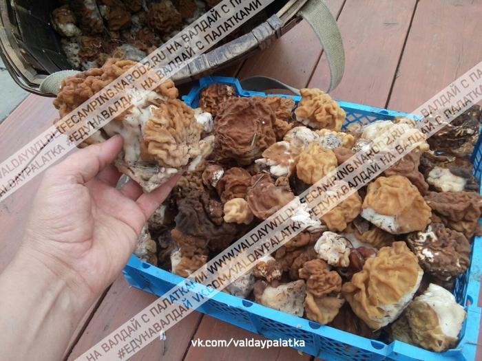 строчки, весенние грибы, сморчки, как собирать сморчки, как искать строчки, гре растут сморчки, как растут сморчки, на валдай с палаткой, едунавалдай, /3041158_Valdai_strochki_01_01 (700x525, 305Kb)
