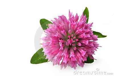 цветок-клевера-140312 (400x267, 25Kb)