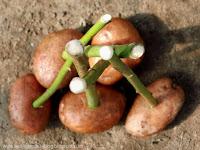 Выращивание из черенков кустов роз (7) (200x150, 42Kb)