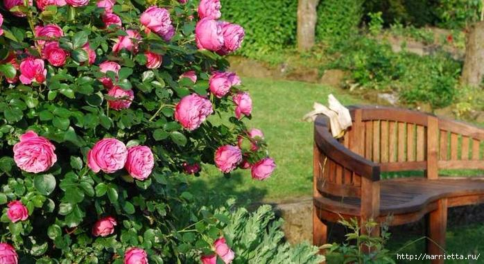 Выращивание из черенков кустов роз (9) (700x381, 271Kb)