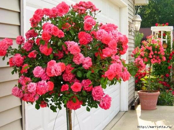 Выращивание из черенков кустов роз (13) (600x450, 214Kb)