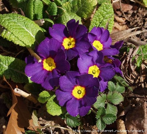 primula_vulgaris1_1 (500x454, 160Kb)