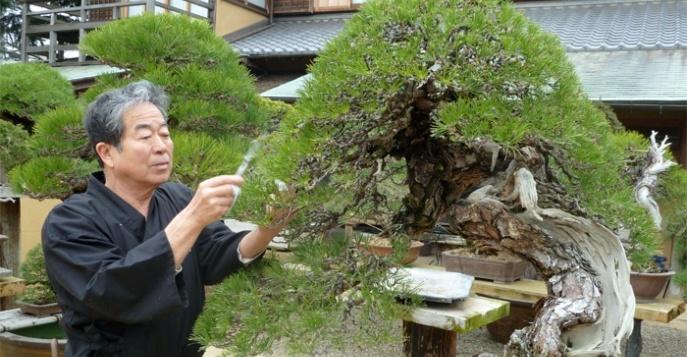 vosmaia-mejdunarodnaia-konvenzia-bonsai-v-iaponii-tur-14674063245292_w687h357 (687x357, 131Kb)