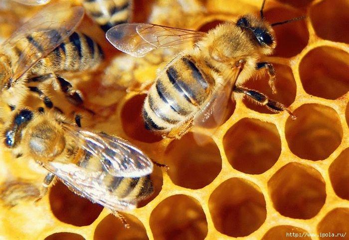 """alt=""""Апитерапия (лечение пчелами) в Москве""""/2835299_Apiterapiya_lechenie_pchelami_v_Moskve_1_ (700x481, 209Kb)"""