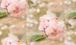 Превью romantic-rozy-roses-lepestki-flowers-pink-2 (700x420, 264Kb)