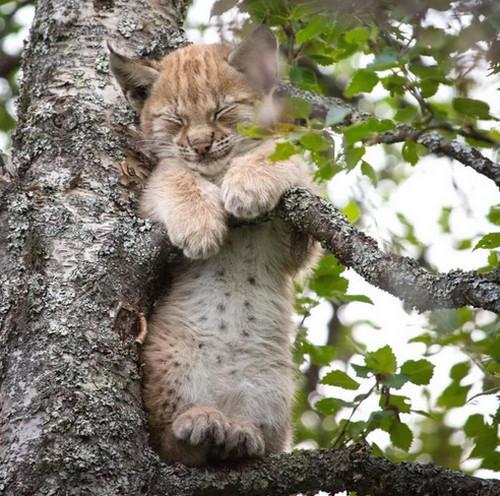 Кошка на дереве15 (500x496, 196Kb)