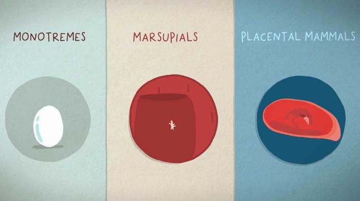 Видео: 3 способа появления на свет млекопитающих