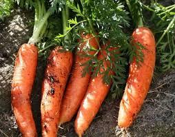 как вырастить хорошую морковь (254x199, 76Kb)