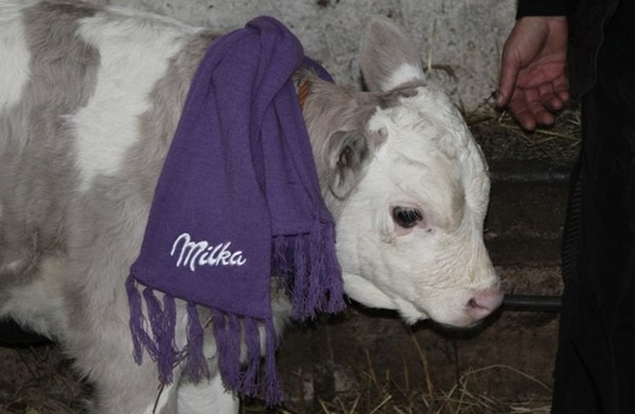 Сиреневый теленок родился в Сербии