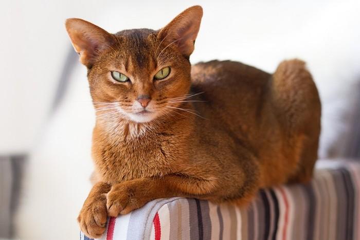 Самые опасные породы домашних кошек