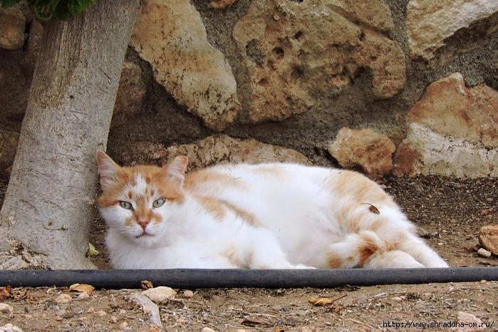 Котики Киприотики (2) (700x466, 357Kb)