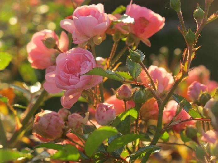 6108242_roses_10 (700x525, 47Kb)