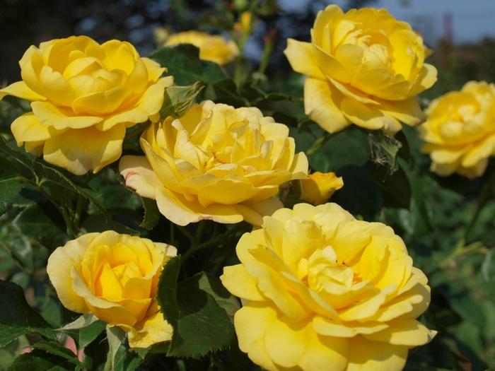 6108242_roses_4 (700x525, 168Kb)
