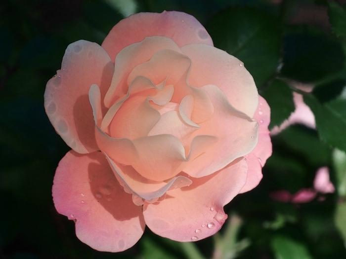 6108242_roses_1 (700x525, 194Kb)