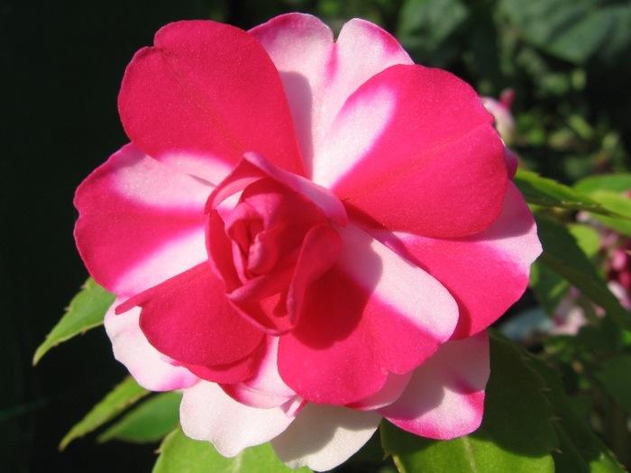 6108242_roses_3 (700x525, 83Kb)