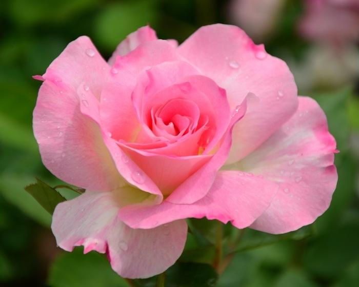 6108242_roses_7 (700x560, 67Kb)