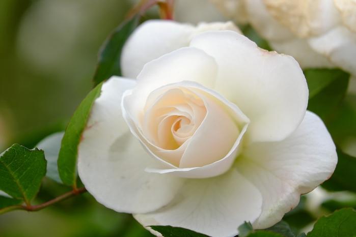 6108242_roses_17 (700x466, 126Kb)