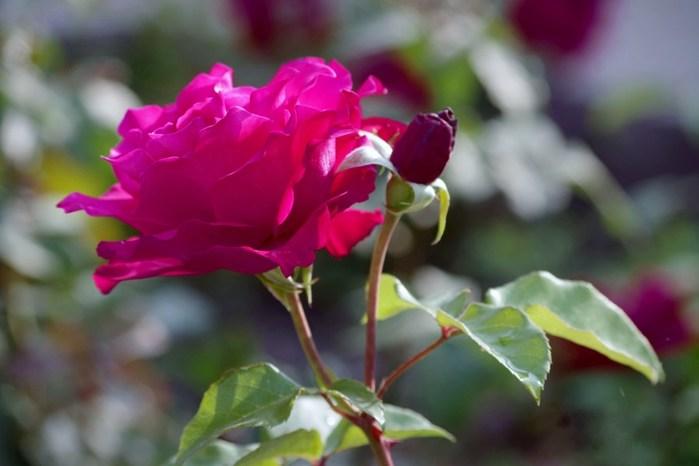 6108242_roses_6 (700x466, 49Kb)