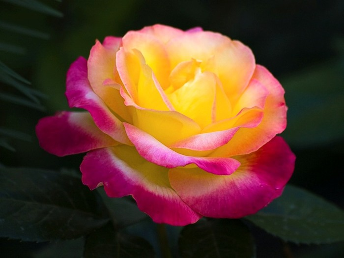 6108242_roses_20 (700x525, 53Kb)