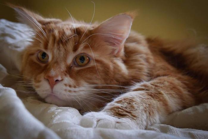кот омар самый длинный кот в мире 6 (700x469, 258Kb)