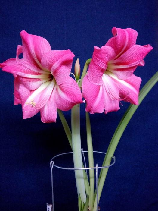 Луковичный цветок гиппеаструм