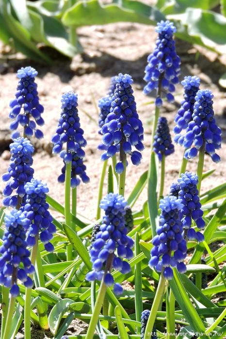 цветы, июнь 2017 (4) (466x700, 350Kb)