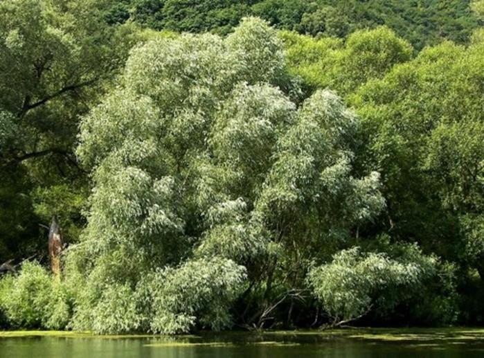 Как получить натуральный аспирин из коры ивы в полевых условиях