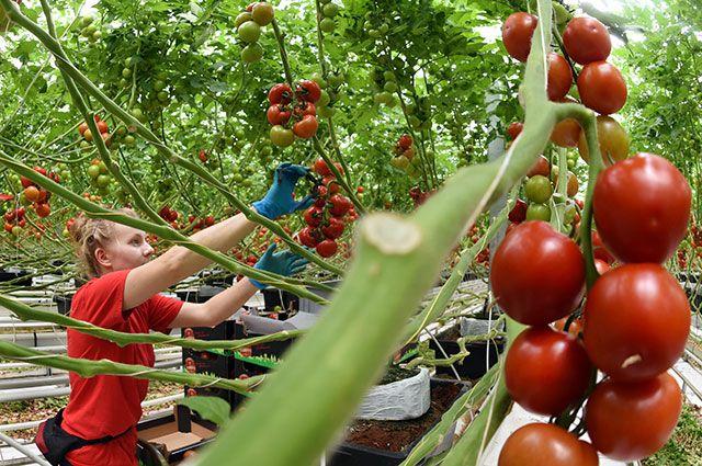 Защита помидор от фитофторы