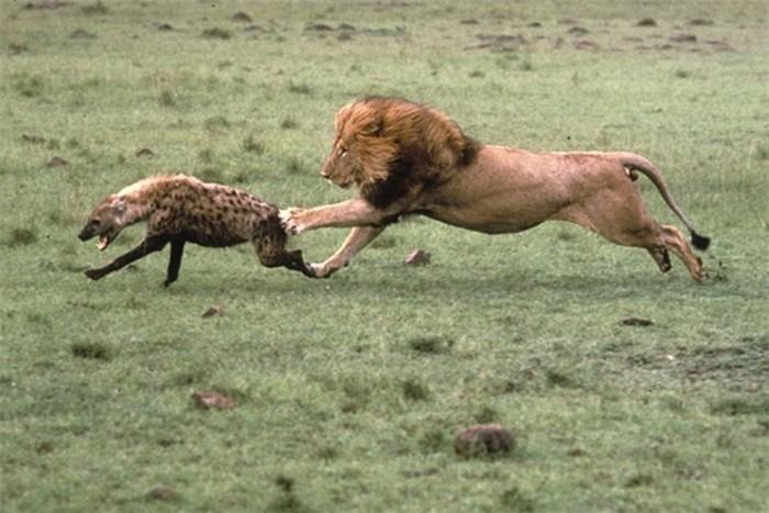 Что вы не знали о гиенах