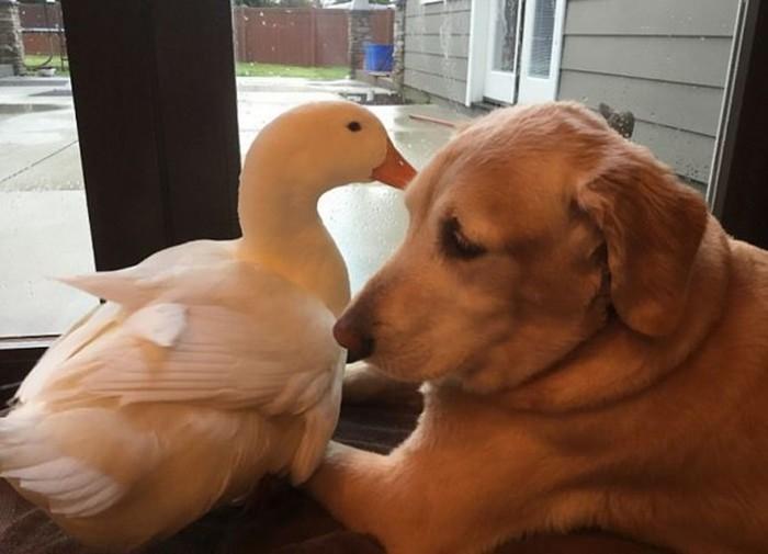 Неожиданно крепкая дружба между ретривером и селезнем